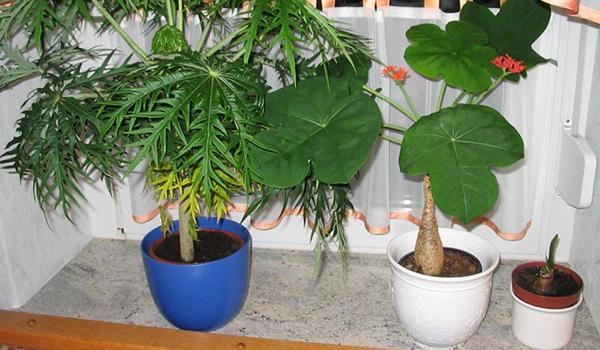 Декоративное растение