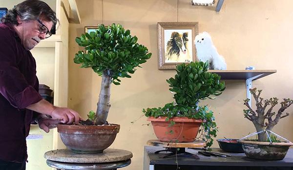 Деревца из крассулы