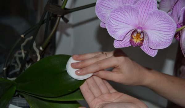 Обтирание листьев орхидеи