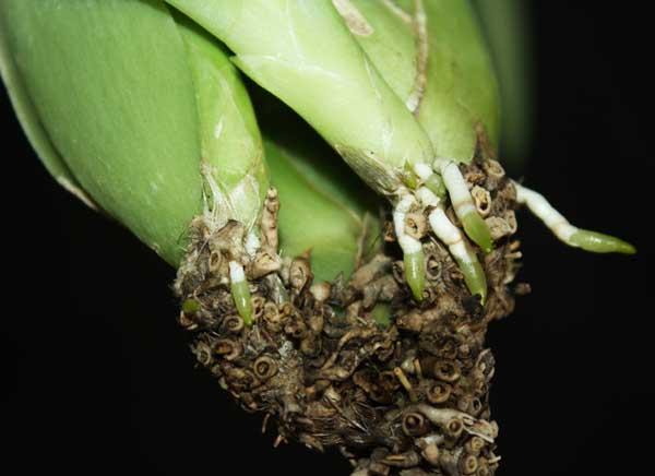 появление корней