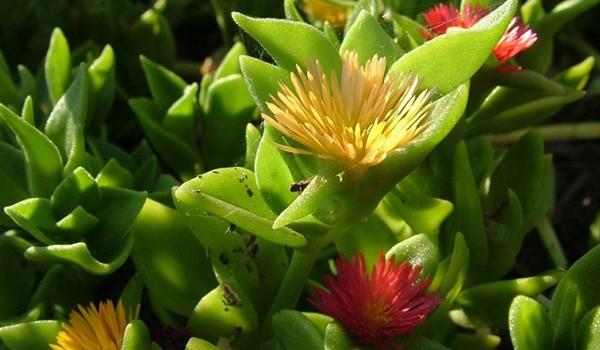 Пышные цветки