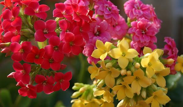 Разноцветные сорта
