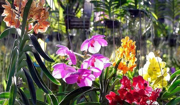 Сорта цветка