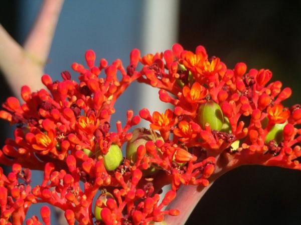 Ятрофа подагрическая цветет