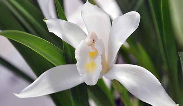 Желтовато-белый сорт