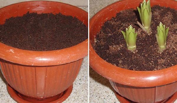 Гошки и растение