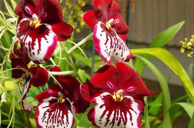Капризная орхидея