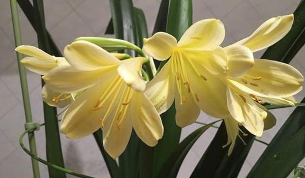 Кремовые с жёлтым цветки