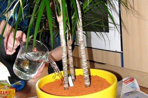 Подкормка бамбука