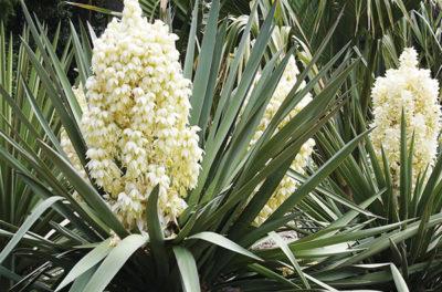 Растение древовидное