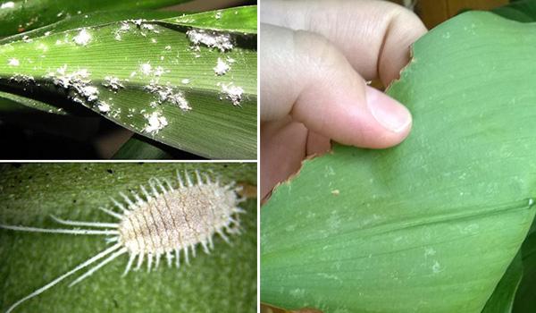 Вредители растения