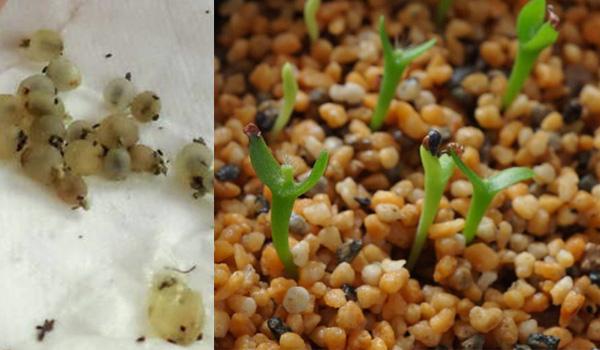 Размножение рипсалиса семенами