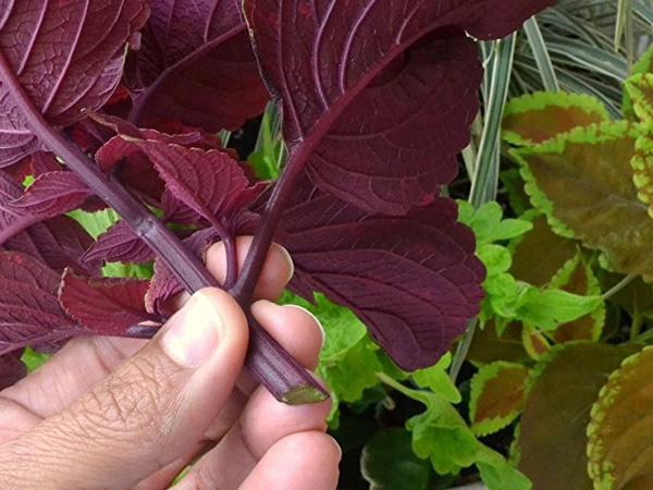 Черенок растения