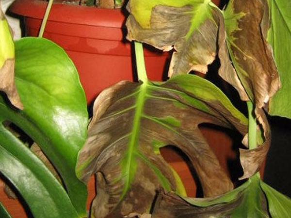 Желтые листья у растения