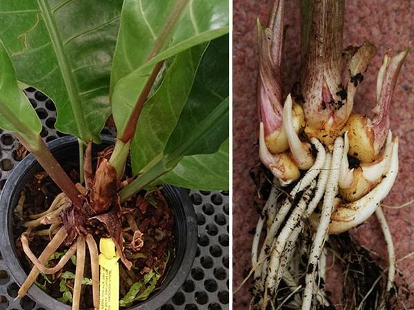 Выращивание каллы в горшке, 5 основных видов