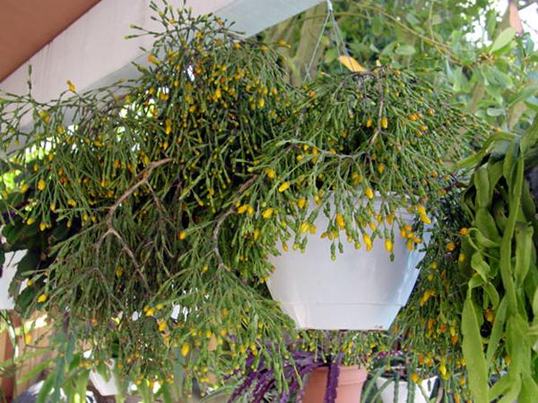 Цветок Хатиора