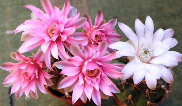 Грузони цветение