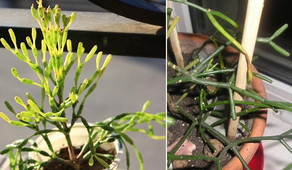 Растение гибнет