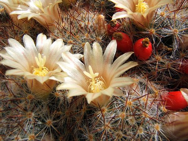 Род кактусовых Маммиллярия