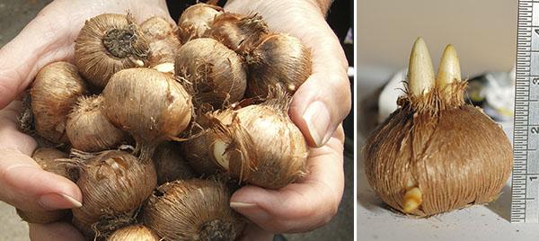 Выбор луковиц шафрана