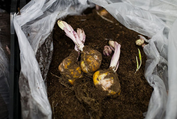 Хранение луковиц цветка