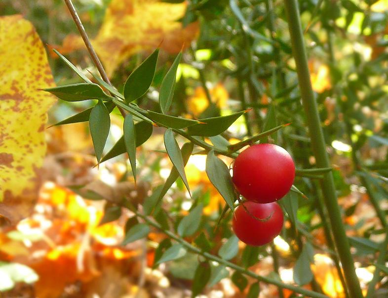 Иглица: выращивание в домашних условиях, уход, вредители