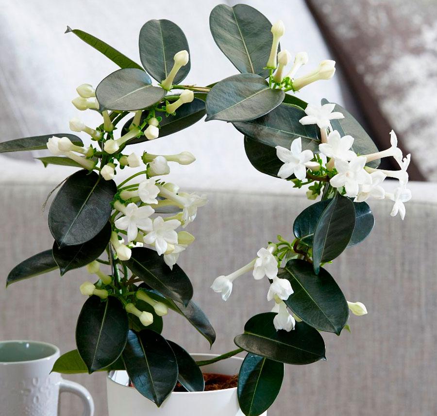 Стефанотис: стоит ли выращивать дома?