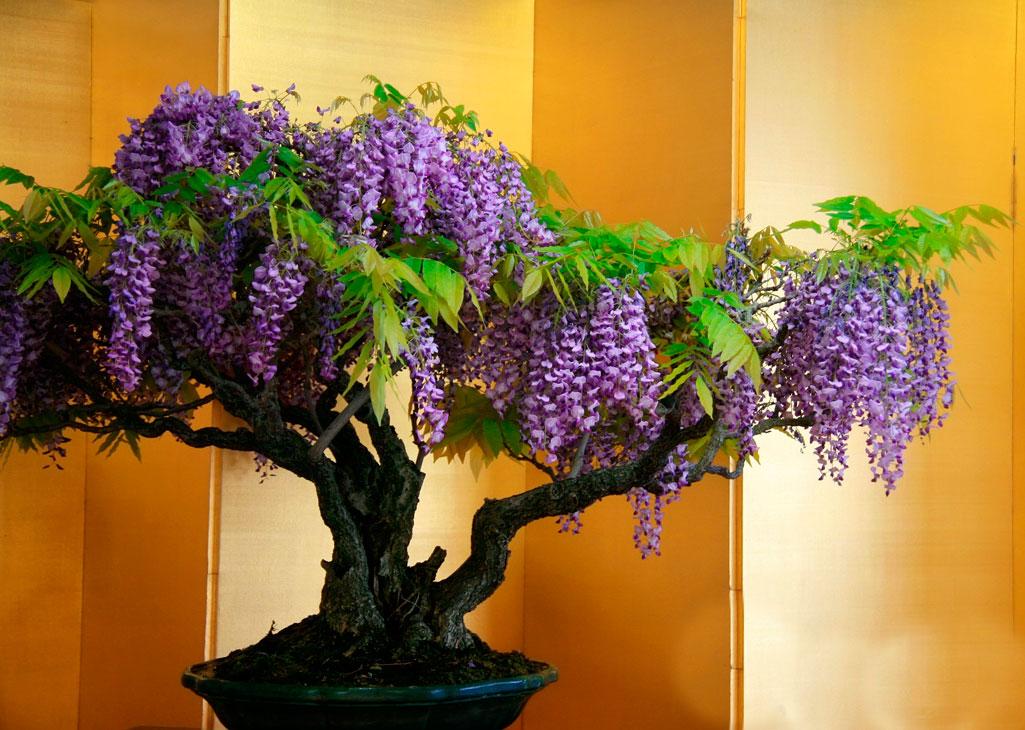 Жакаранда - фиалковое дерево