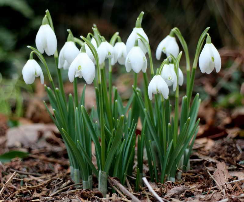 Галантус – посланник весны