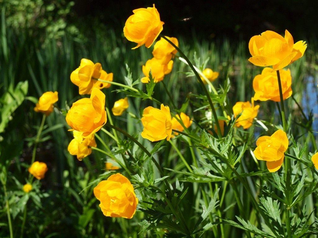 Купальница - любимый цветок троллей