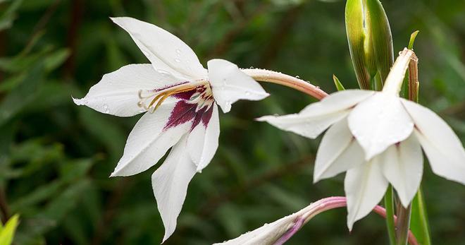 Ацидантера — тропическая красавица