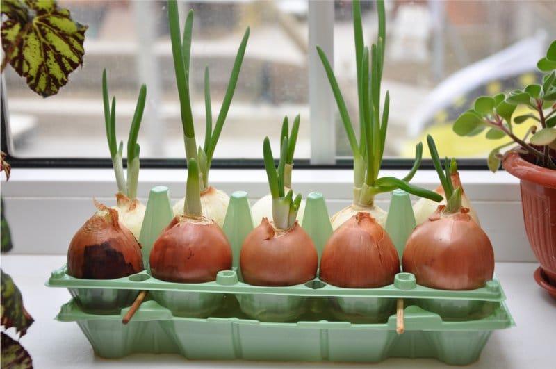 Как в домашних условиях вырастить шикарный зеленый лук к Пасхе