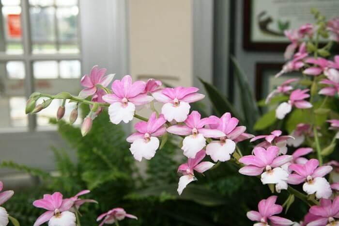 Художественное изображение идей через орхидею вида Calanthe Каланта