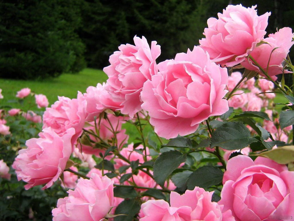 Открываем розы после зимовки: как не проспать момент