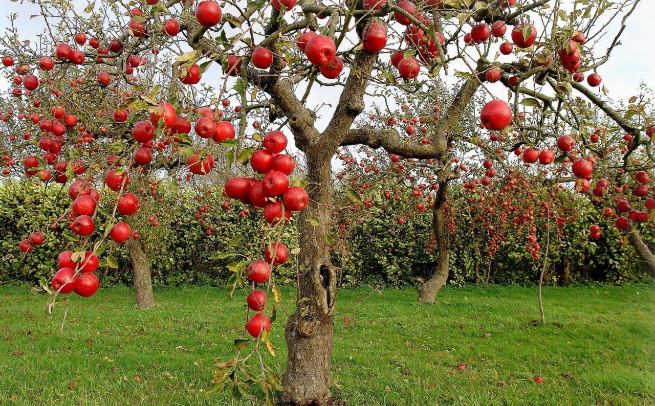 6 самых неприхотливых плодовых растений