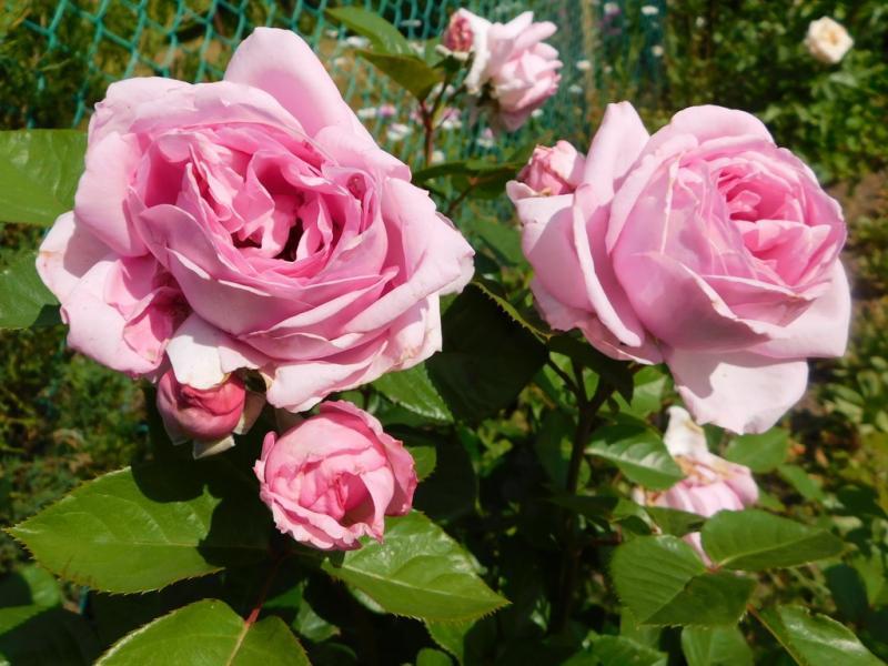 Что произошло и почему мутировала роза