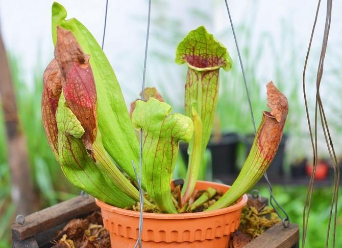 Саррацения: крупнейшее растение-хищник
