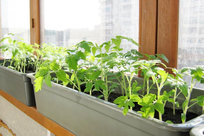 Когда и какую рассаду можно выносить на балкон