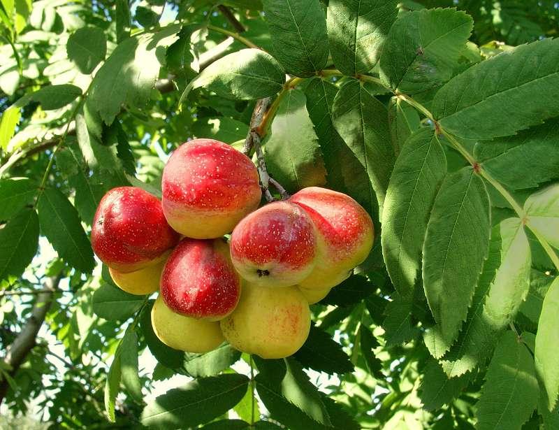 Рябина домашняя sorbus domestica или рябина крупноплодная крымская