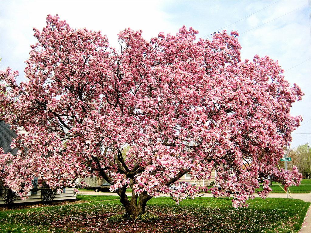 Магнолия: примадонна цветущих деревьев