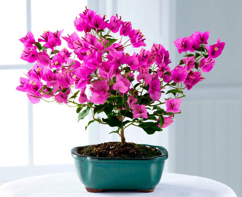 Бугенвиллия: особенности выращивания в качестве комнатного растения
