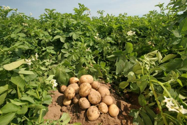 Как уничтожить проволочника на своем участке, чтобы сохранить урожай картофеля