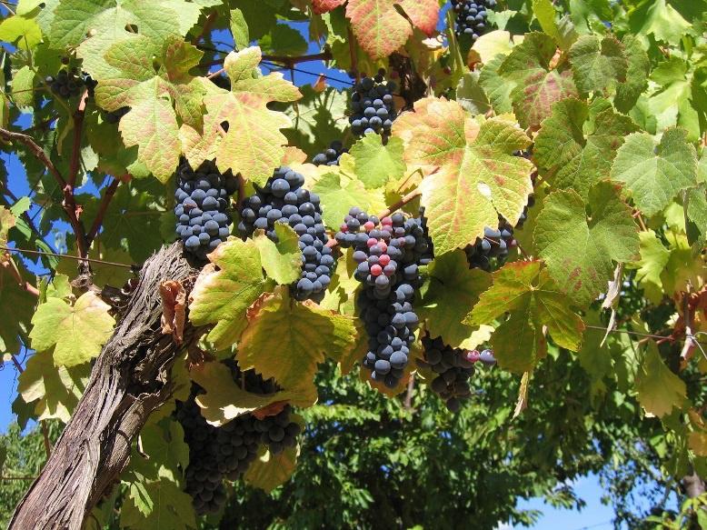Угробила свой виноград по совету в интернете