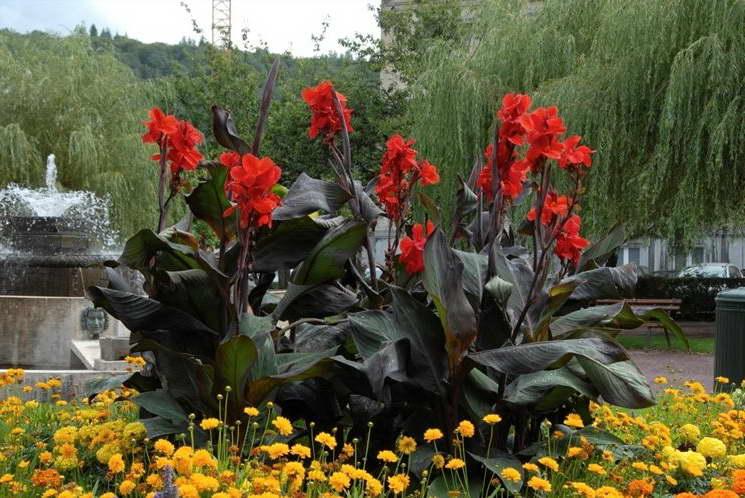 как ухаживать за каннами в саду