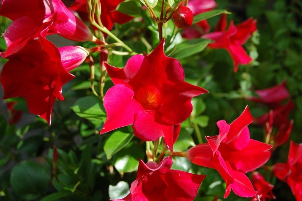Зимние гиацинты, лиана цветок уход
