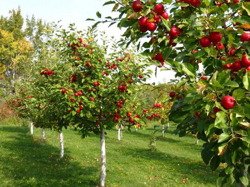 Плодовые деревья: правила посадки на участке