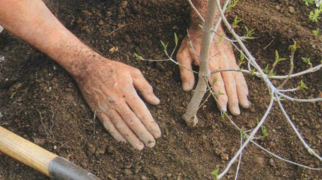Как с моего участка выкопали груши в конце мая