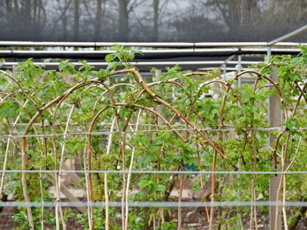 Как правильно ухаживать за малиной в мае для лучшего урожая