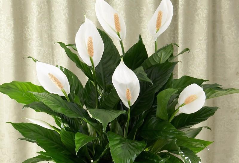 Спатифиллум — цветок «женское счастье» из тропиков