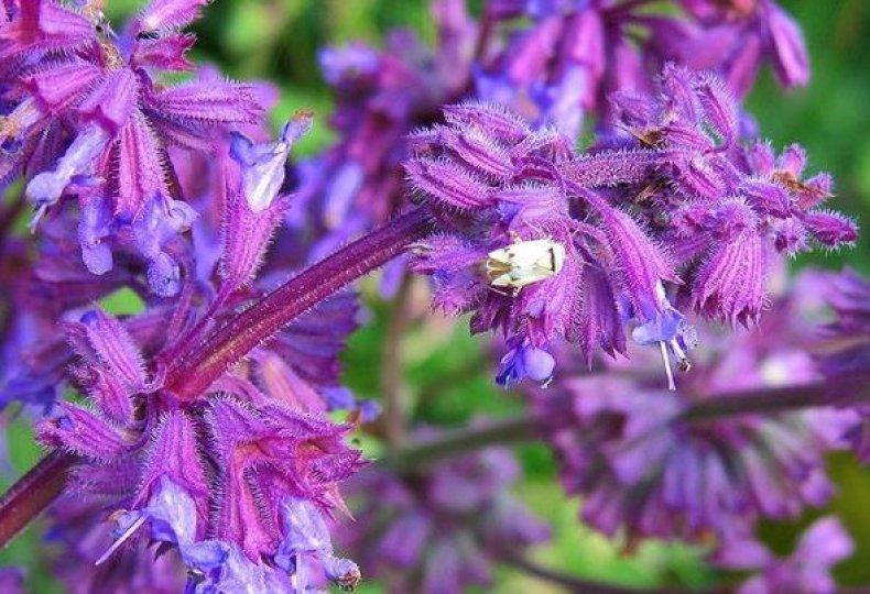Сальвия лесная (Salvia sylvestris)